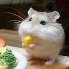Faded金丝鼠